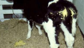 Calf scour